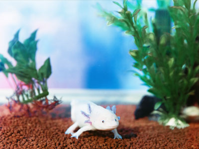 Aquarium Size for Axolotls